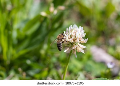Detail of White Clover in meadow grass field with bee