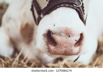 Detail of white cow nostrils