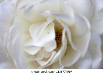 Detail of a white rose, the Netherlands