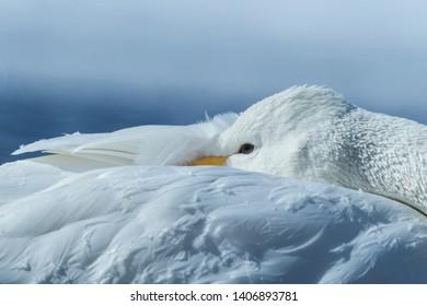 Detail of whooper Swans (Cygnus cygnus) in the Lake of Kussharo. The unique natural beauty of Hokkaido, Japan, close up bird portrait,birding adventure in Asia,beautiful elegant royal bird, wallpaper