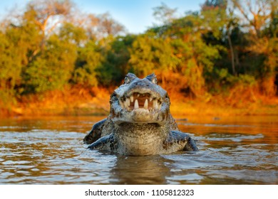 Detail wide angle portrait of danger reptile. Crocodile catch fish in river water, evening light. Yacare Caiman, animal with piranha in open muzzle with big teeth, Pantanal, Bolivia.