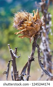 Detail of a wild growing, uncultivated artichoke, or cardoon, drying in the mediterranean sun in Greece.