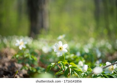 Detail of wood anemones in the forrest with the forrest floor in the background