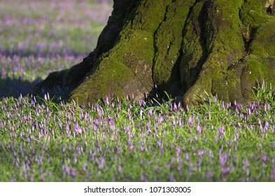 Detail of woodland blossoms flowering at the root base of an old beech tree