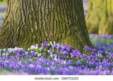 Detail of woodland blossoms and purple ans white crocuses flowering at the root base of an old oak tree