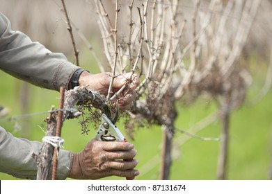 Detail of worker pruning California wine grapes