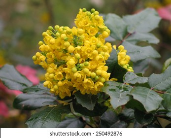 Detail yellow flowering shrubs mahonia - Mahonia aquifolium