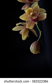 detail of a yellow orchid bloom showing petal and  stamen detail isolated against a black background