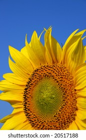 Detail of yellow sunflower in summer afield with blue sky