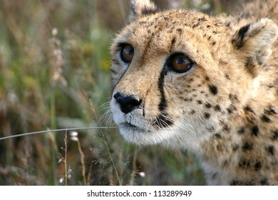 Detail of young female cheetah head in profile, Namibia