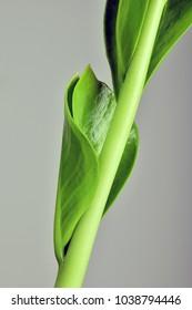 Detail  Zamioculcas zamiifolia