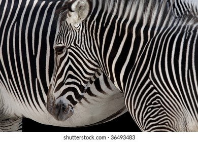 Detail of a zebra head over a zebra skin background - equus grevyi