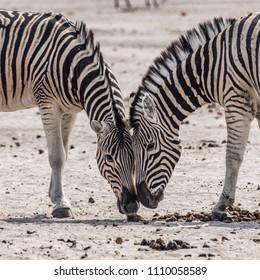 detail of zwo zebras in the etosha national park