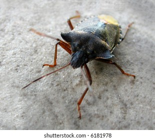 A detailed black brown bug with antennae
