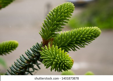 Detailed capture of new young shoots of Abies pinsapo (Spanish fir)