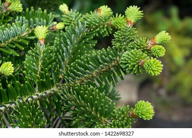 Detailed capture of new young shoots of Abies numidica (Algerian fir) in a botanical garden