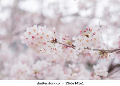 Detailed clear view of a Cherry Blossom group of flowers in Japan