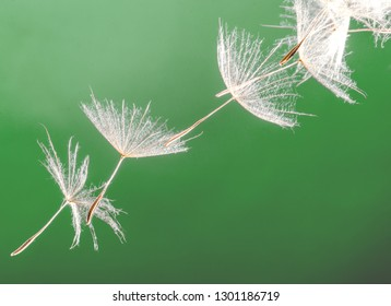 Detailed close up of beautiful Dandelion seeds blown with green background. Concept for hope and wishes.