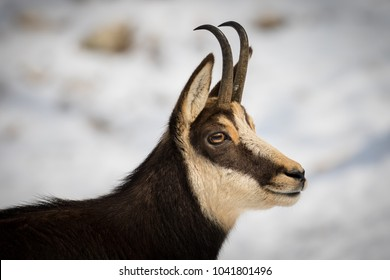 Detailed close up of chamois's head