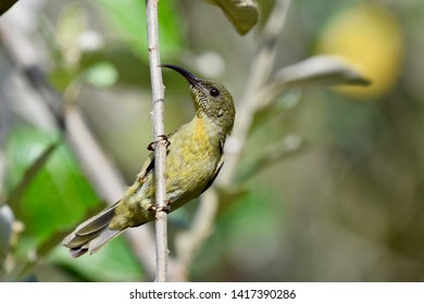 Detailed close up of the left profile of an Eastern Olive Sunbird perched on a branch. Photographed in south Africa.