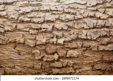 Detailed close up of an old mango tree trunk. Abstract wooden texture.