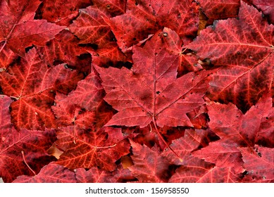 A detailed close up of real fallen autumn red maple leaves in a pile.