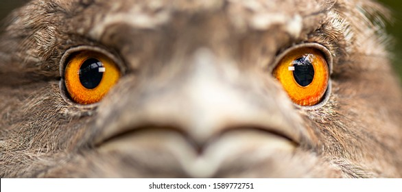 Detailed close up of a Tawny Frogmouth