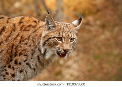 Detailed close-up of adult Eurasian lynx, lynx lynx, in autumn forest. Endangered mammal species in natural environment. Wildlife scenery with predator in wilderness.