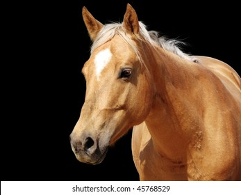 Detailed close-up of a golden palomino Quarter horse mare looking at camera isolated on black background