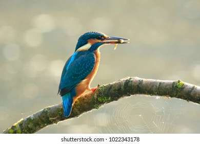 Detailed closeup of a kingfisher bird Alcedo atthis catch and eating a small fish in early morning sunlight during Springtime season.