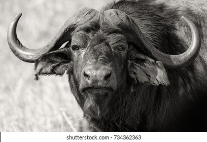 Detailed closeup of a lone water buffalo in black and white. Swaziland
