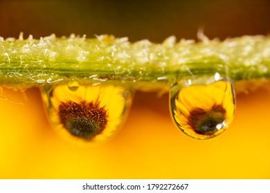 Detailed closeup macro photo of a beautiful sunflower