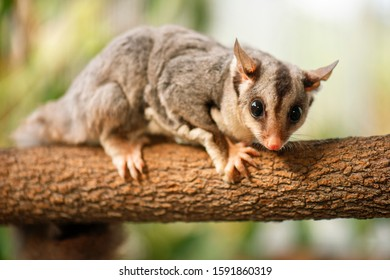 Detailed closeup of a Squirrel Glider. Scientific name is Petaurus norfolcensis.