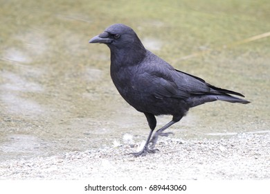 Detailed crow walking along the shore.