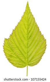 detailed green leaf, isolated on white background