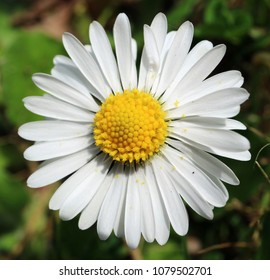 Detailed high resolution macro photograph of daisy flower.