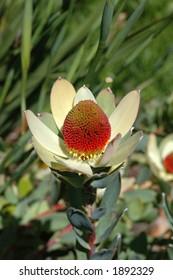 A detailed Leucadendron flower