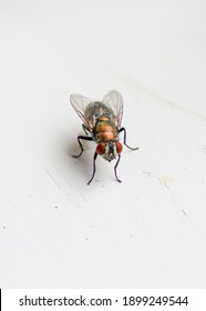 Detailed Macro Focus Stacked Bottle Green House Fly