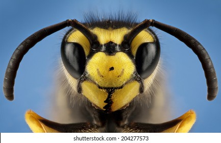 Detailed macro photography of insect German wasp (Vespula germanica)