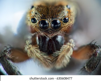 Detailed macro of a small jumping spider.