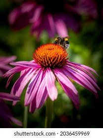 Detailed photo of bumblebee collecting nectar from Gerbera flower, macro image