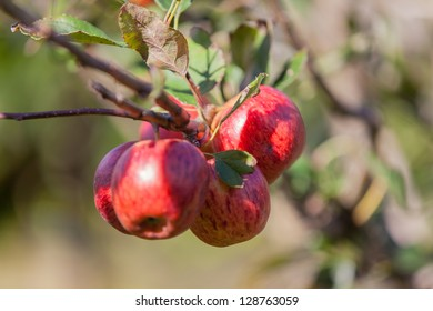 A detailed photo of a cluster of ripe apples on an apple tree.