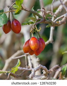 A detailed photo of a cluster of Tamarillo (tree tomato) on the tree