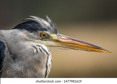 Detailed photo of grey heron. Curious look with its beak ready to strike.