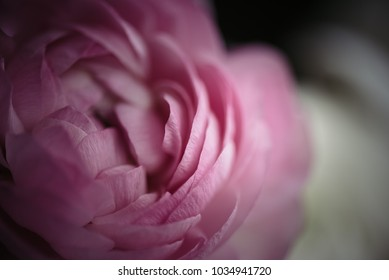 Detailed photo of ranunculus.