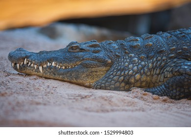 detailed picture of crocodile. the head of the Toothy Crocodile