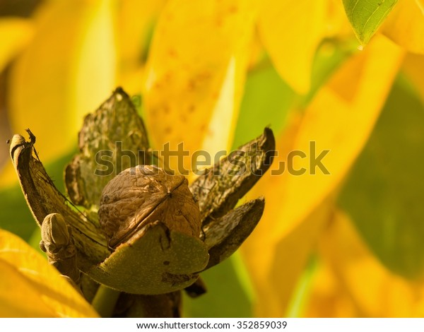 Detailed Picture of riped walnut with open green skin and shallow focus yellow autumn leaves on the tree in the garden. Just before harvest in sunny day.