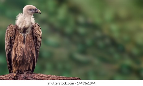 Detailed portrait of a griffon vulture's head, close up griffon vulture head, isolated on blur background