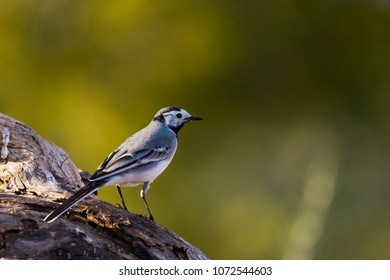 detailed portrait of a white wagtail (Motacilla alba) perched on a log with green background.