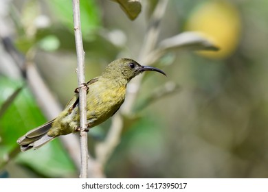 Detailed right profile of an Eastern Olive Sunbird perched on a branch in the sunlight.  Photographed in South Africa.